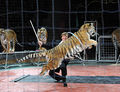 Nikolai Pavlenko and jumping tiger.jpg